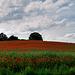 The Poppy Fields Back Home