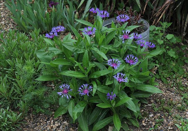 Cyanea montana - Centaurea montana (2)