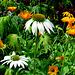 Sonnenhut und Ringelblumen