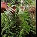 Marniera = Selenicereus =Epiphyllum chrysocardium