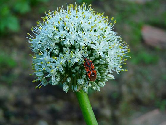 Allium,la lumière
