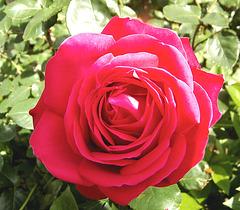 Rose au printemps