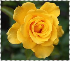 eine Rose ja ein ganzes Rosarium...