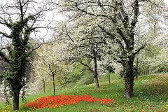 Tulpen unterm Kirschbaum
