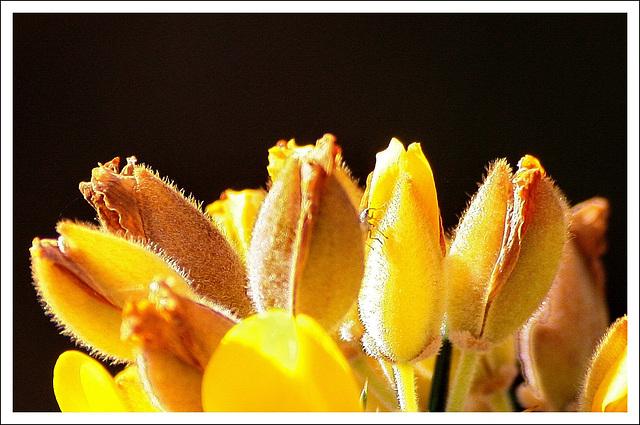 Stachelginsterblüte mit Untermieter