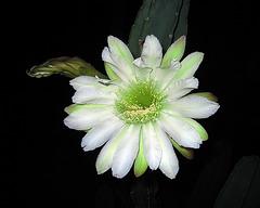 Cereus Bloom (1142)