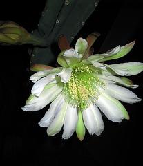 Cereus Bloom (1144)