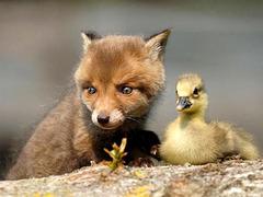 Deux copains : renard et canard