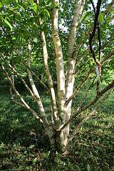 Betula albosinensis 'Hergest'