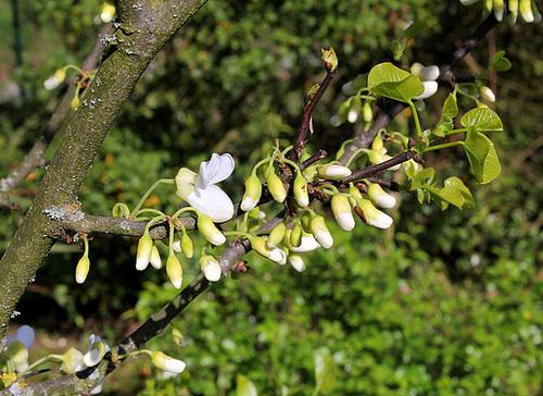 Cercis siliquastrum 'Alba' (3)
