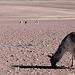 Ces guanacos mangent-ils des cailloux ?