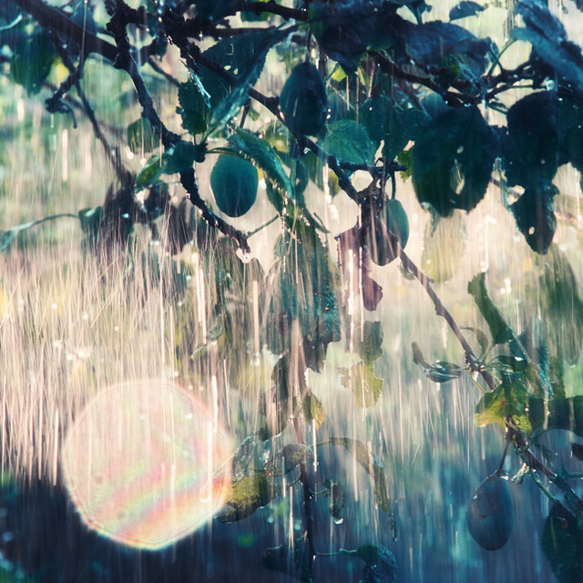 sunrain in the plum orchard