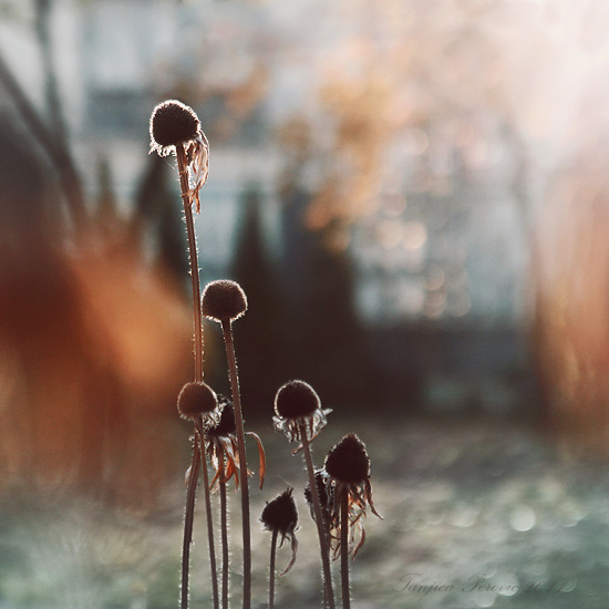 What's Left of Rudbeckia