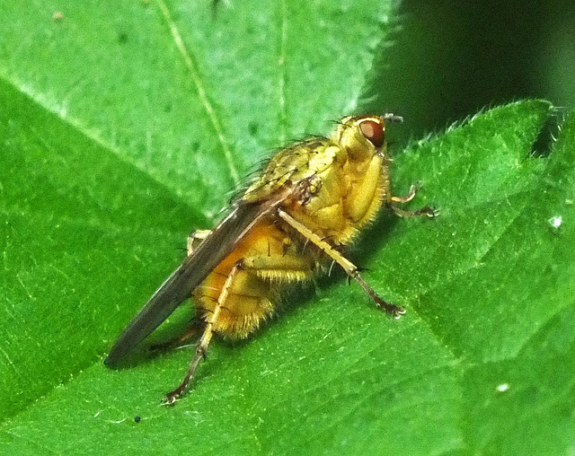 Yellow or Golden Dungfly - Scathophaga stercoraria