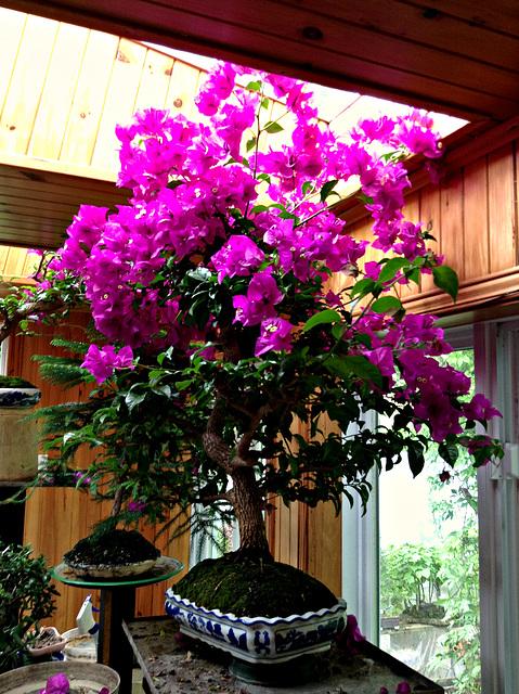Bougainvilliers - bonsaï