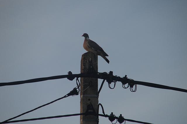 pigeon perché