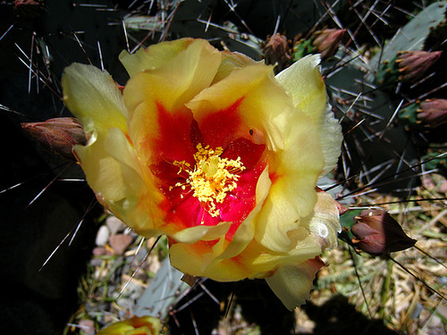 Cactus Flower (2412)