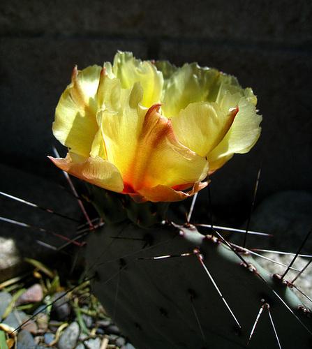 Cactus Flower (2413)