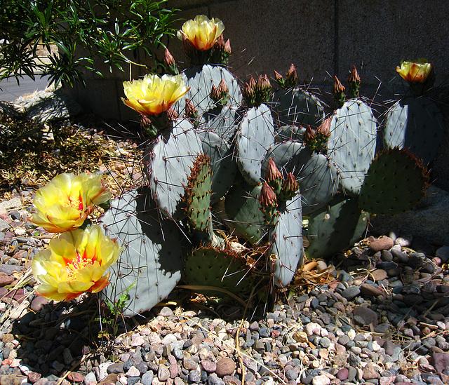 Cactus Flowers (2414)