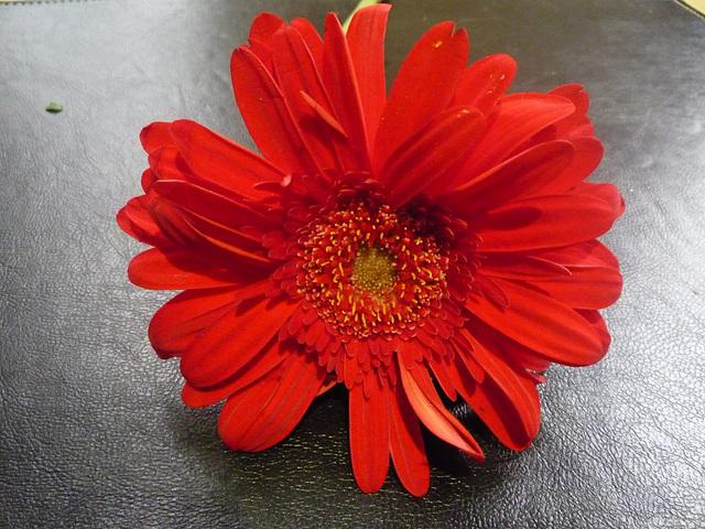 Flor roja en fondo oscuro
