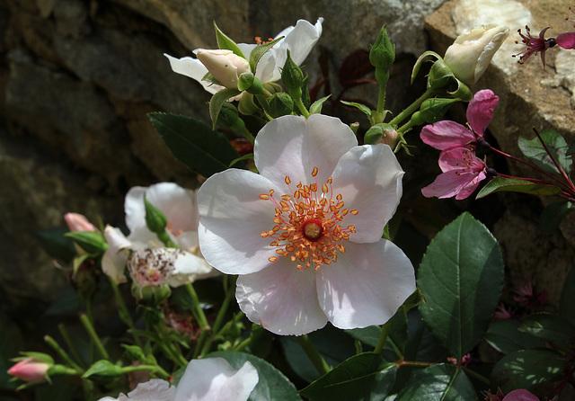 Rosa 'Astronomia '