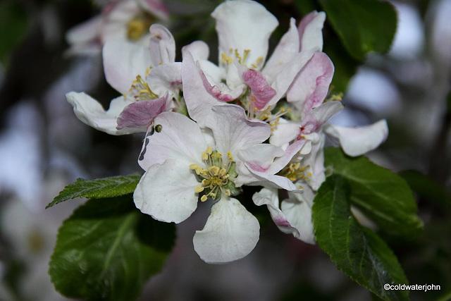 Bramley Blossoms