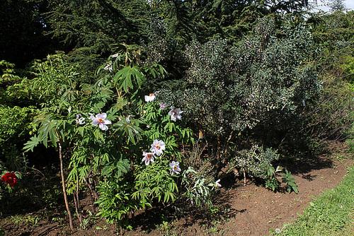 Pivoine arbustive et Colletia paradoxa