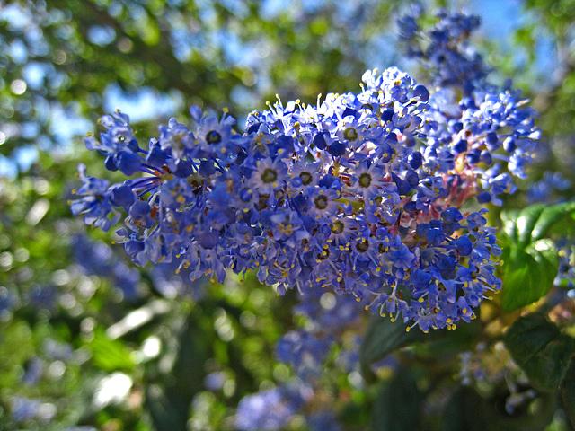 California Lilac (2273)