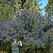 California Lilac (2285)
