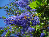 California Lilac (2287)