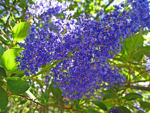 California Lilac (2288)