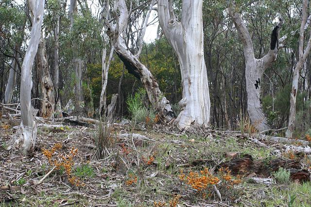 Eucalyptus leucoxylon Woodland