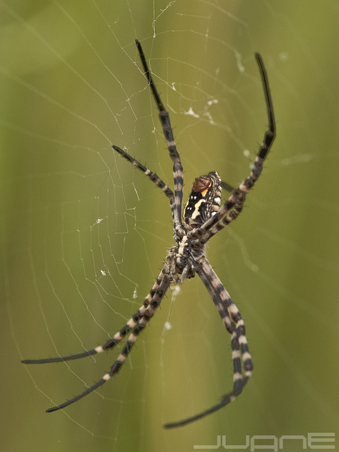 Araña tigre- Argiope trifasciata