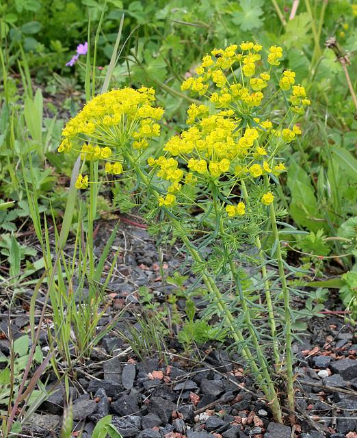Euphorbia cyparissias  (3)