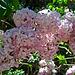 Lilac (2337)