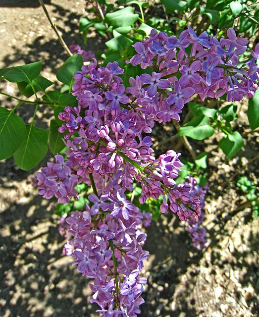 Lilac (2338)