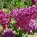 Lilac (2339)