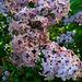Lilac (2340)