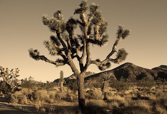 """""""Desert tree, dreamed I saw a desert tree …"""""""