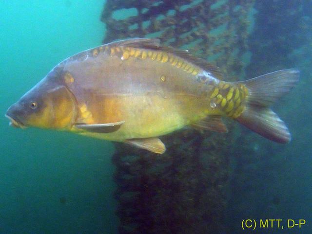 Mirror carp