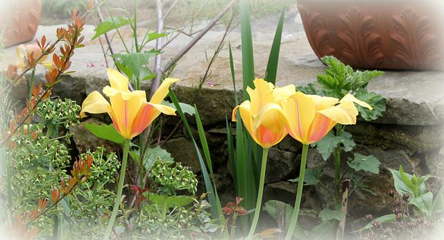 Tulipes 'Blushing Beauty'