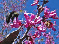 Descanso Gardens Bee (2280A)