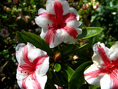 Rhododendron 'Nancy Marie' (2204)