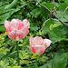 Tulipes flammées roses