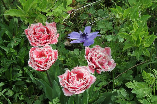 Tulipes frangées doubles