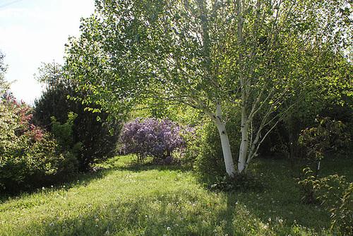 Clairière - Vue sur une autre Glycine-Betula utilis 'Jacquemonti'