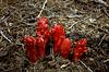 Fire Red - Sarcodes sanguinea