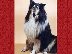 My Rough Collie
