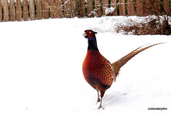 Cock Pheasant in snow 5239198094 o