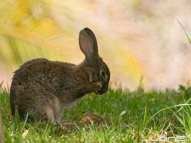 Conejo . Lapin. Rabbit. Kaninchen